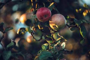 Apple tree in autumn, detail