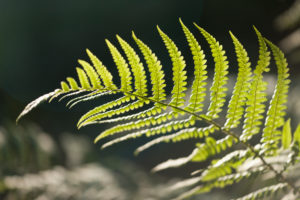 Fern leaves in the forest, close-up