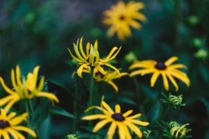 Yellow coneflower, flowers, rudbeckia, close-up