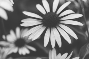 Sonnenhutblüten, close-up, s/w, Echinacea