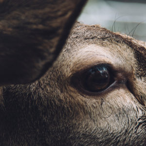 Red deer, detail, eye, close-up