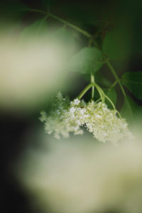 Elderberry, branch, detail, blur