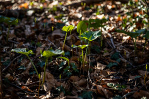 Spotted arum, leaves,