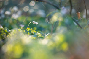 Forest floor, wood anemone