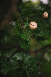 Oak, detail, own wasp, nest,