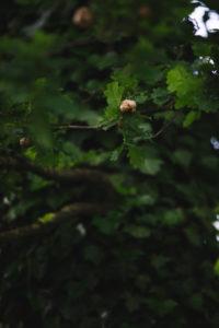 Eiche, Detail, Eigenwallwespe, Nest,
