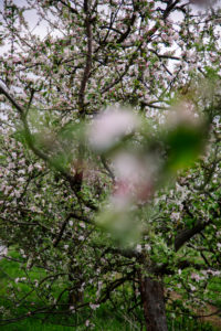 Apple tree, blossom, detail