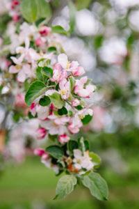 Apple tree, blossom, detail