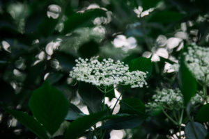 Holunder, Detail, Blätter, Blüten