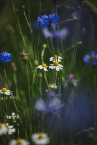 Cornflowers and chamomile on the edge of a barley field