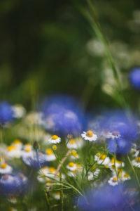 Kornblumen und Kamille am Rande eines Gerstenfeldes