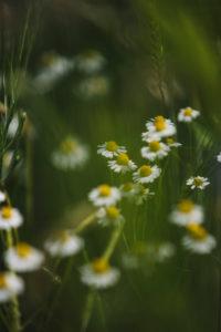 Kamille am Rande eines Gerstenfeldes