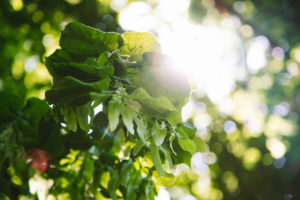 Lindenblätter mit Lindenblüten