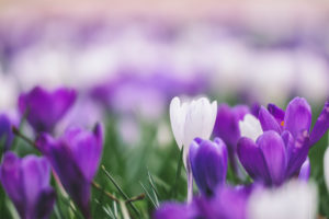Meadow, crocuses