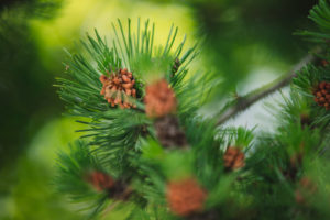 Conifer, detail
