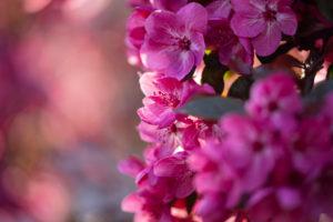 Flower, ornamental apple