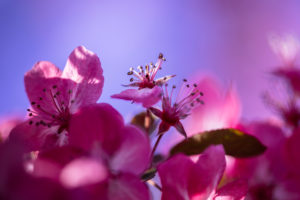 Blüte, Zierapfel