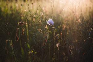Cornflower, cornflower, poppy, rape field, sunset