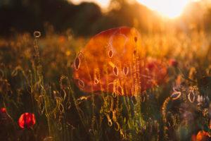 Doppelbelichtung, Mohn, Feld, Sonnenuntergang