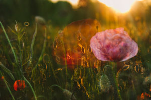 Double exposure, cornflower, cornflower, poppy, rape field, sunset