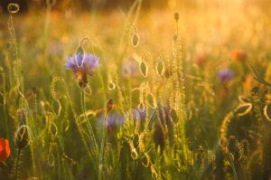 Doppelbelichtung, Kornblumen, Mohn, Feld, Sonnenuntergang