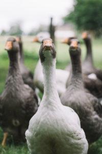Domestic goose, Pommerngans