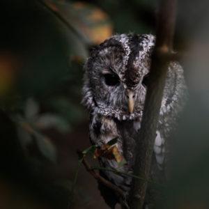 Strix Aluco, Tawny Owl