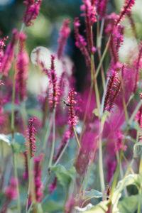 Insekt an pinkfarbenen Blüten