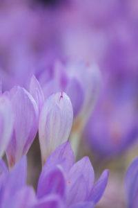 zart lila Krokusse