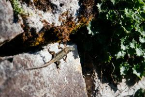Eidechse auf einem Stein