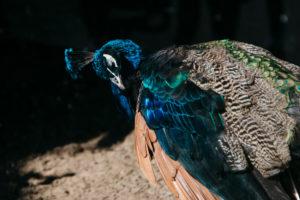 männlicher Blauer Pfau, Pavo cristatus