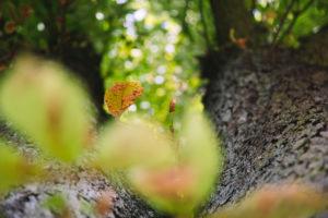 Kastanienbaum von unten
