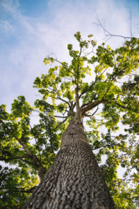 Deciduous tree from below