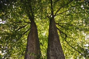 zwei Laubbäume von unten