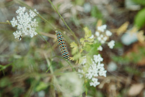 Wild carrot, swallowtail caterpillar, Papilio machaon, Teutoburg Forest, Zwickenbachtal