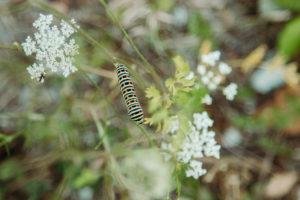 Wilde Möhre, Raupe des Schwalbenschwanz, Papilio machaon, Teutoburger Wald, Zwickenbachtal