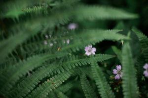 Fern, Wild Geranium