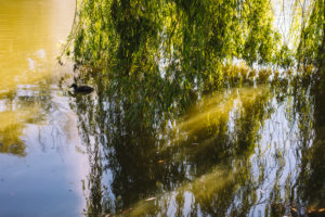 Weeping willow by a lake