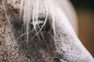 Arab mare, close-up