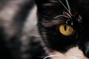 schwarz-weiße Hauskatze