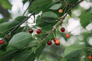 Wild cherry, Prunus avium