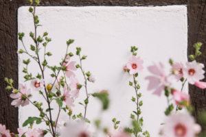 Hollyhocks, Alcea rosea, also hollyhock mallow
