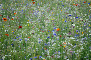 Wildflower meadow,