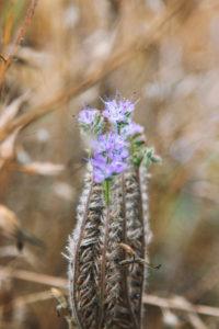Shaggy fireweed, Epilobium hirsutum