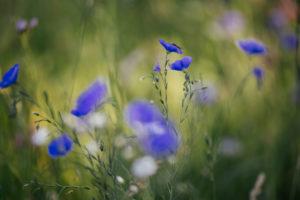 Gemeiner Lein, Wildblumenwiese,