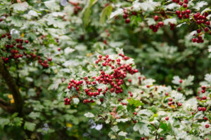 Common hawthorn, Crataegus monogyna,