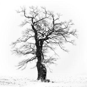 Oak in Appenhain