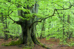 Primeval forest Sababurg