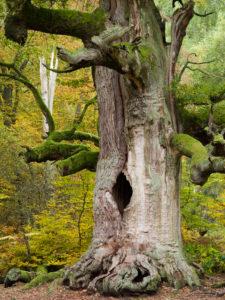 Kamineiche (oak), Urwald Sababurg, Reinhardswald, Hessia, Germany