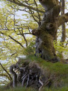 gnarled beech in the spring, Jasmund National Park, Rügen, Mecklenburg-Western Pomerania, Germany